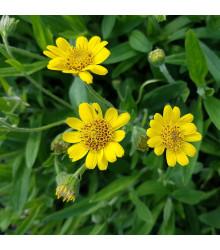 Prha léčivá - Arnica chamissonis - semena - 13 ks