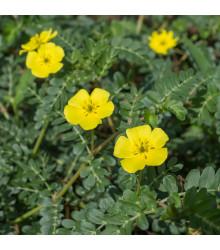 Kotvičník zemní - Tribulus terrestris - semena kotvičníku - 7 ks
