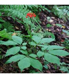 Ženšen pravý - Panax ginseng - semena - 2 ks