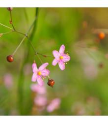 Ženšen korejský - Talinum paniculatum - semena - 15 ks