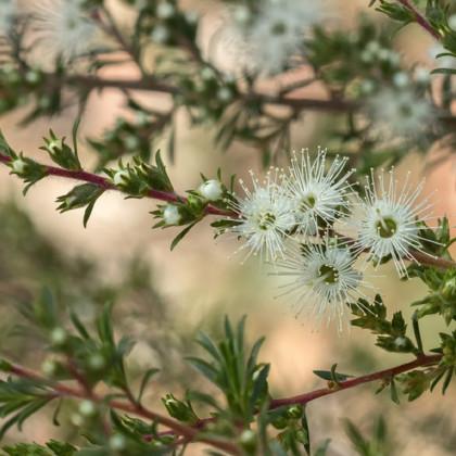 Kanuka - Kunzea ericoides - semena - 6 ks