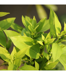 Kafrovník lékařský - Cinnamomum camphora - semena - 6 ks
