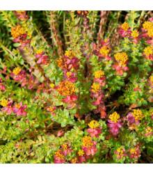 Rozchodnice růžová - Rhodiola rosea - semena - 8 ks