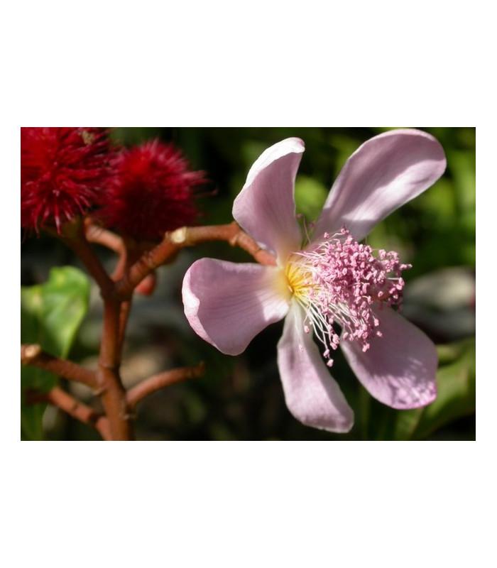 Oreláník barvířský - Bixa orellana - prodej semen - 8 ks