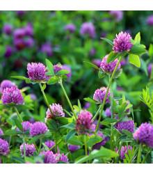 Jetel červený luční - Trifolium pratense - semena - 100 ks