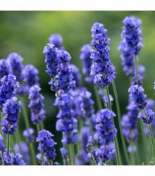 Levandule lékařská Provence Blue - Lavandula angustifolia - semena - 15 ks