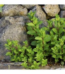 Máta klasnatá - Mentha viridis - semena - 25 ks