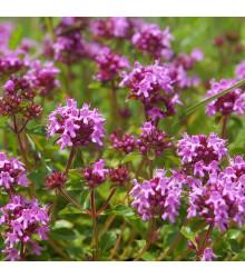 Mateřídouška - Thymus serpyllum - semena - 0,15 g