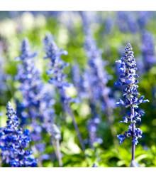 Yzop lékařský modrý - Hyssopus officinalis - semena - 200 ks