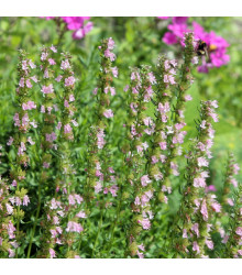 Yzop lékařský růžový - Hyssopus officinalis - semena - 0,1 g