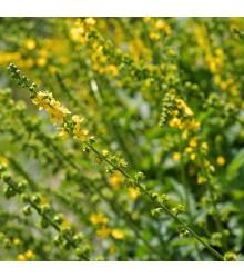 Řepík lékařský - Agrimonia eupatoria - semena - 20 ks