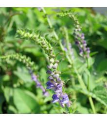 Šišák bajkalský - Scutellaria baicalensis - semena - 15 ks