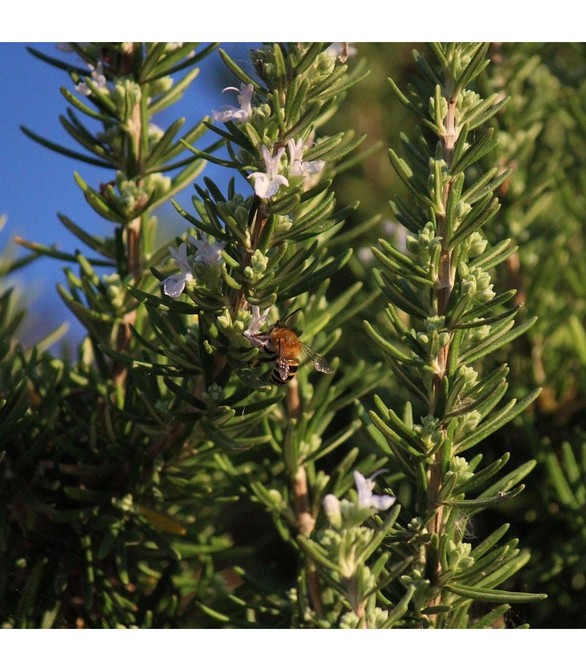 Rozmarýn lékařský - Rosmarinus officinalis - semena rozmarýnu - 50 ks