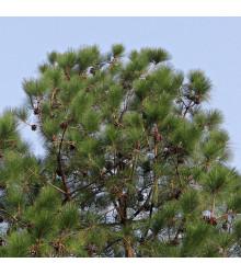 Borovice himalájská - Pinus wallichiana - semena borovice - 5 ks