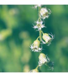Mitrovka velkokvětá - Tellima grandiflora - semena mitrovky - 0,02 g