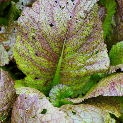 Hořčice habešská - Brassica carinata - semena - 250 ks
