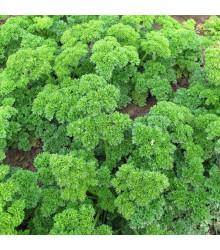 Petržel Mooskrause - Petroselinum crispum - semena petržele - 500 ks