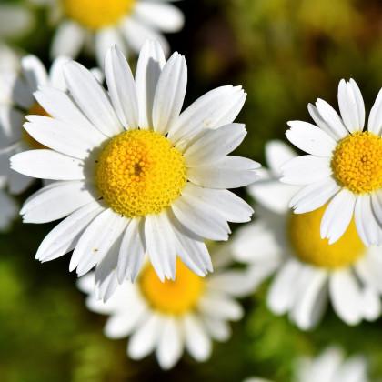 Kopretina bílá - Chrysanthemum leucanthemum max. - semena kopretiny - 200 ks