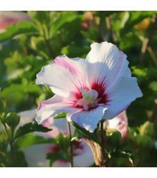 Ibišek syrský bílý - Hibiscus syriacus - semena - 12 ks