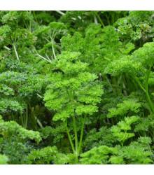 Petržel zahradní naťová Kudrnka - Petroselinum crispum convar. vulgare - semena petržele - 700 ks