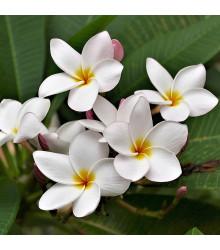 Plumérie - Havajská květina - Plumeria - semena - 3 ks