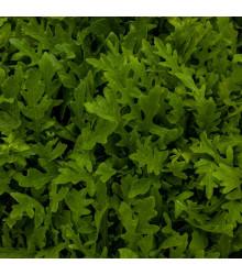 Rukola setá - Eruca sativa - semena rukoly - 250 ks
