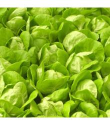 Salát Safír - Lactuca sativa - semena - 400 ks