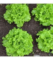 Salát Batavia - Lactuca sativa - semena - 800 ks
