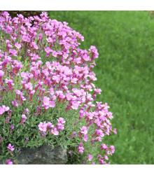 Huseník brvolistý Spring Charm - Arabis blepharophylla - semena - 30 ks