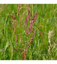 Šťovík kyselý - Rumex acetosa - semena - 25 ks