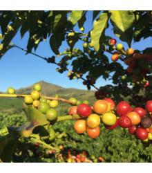 Kávovník Konna havajský - Coffea konna - semena - 5 ks