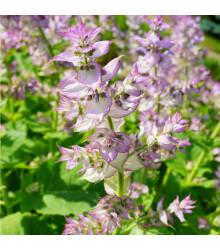 Šalvěj muškátová - Salvia sclarea - semena šalvěje - 50 ks