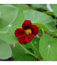 Lichořeřišnice červenočerná Black Velvet - Tropaeolum nanum - semena - 15 ks