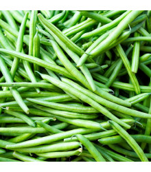 Fazol Enorma - Phaseolus coccineus L. - semena fazolu - 20 ks