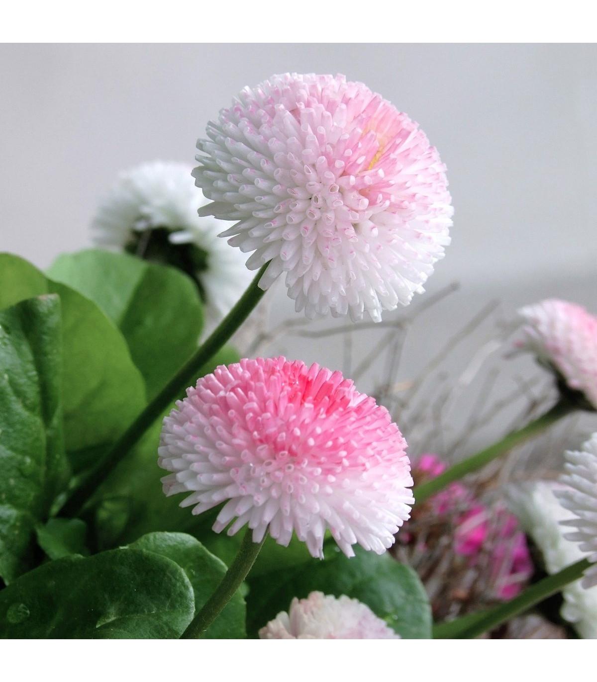 Sedmikráska chudobka Tasso růžová s červeným středem - Bellis perennis - semena sedmikrásky - 50 ks