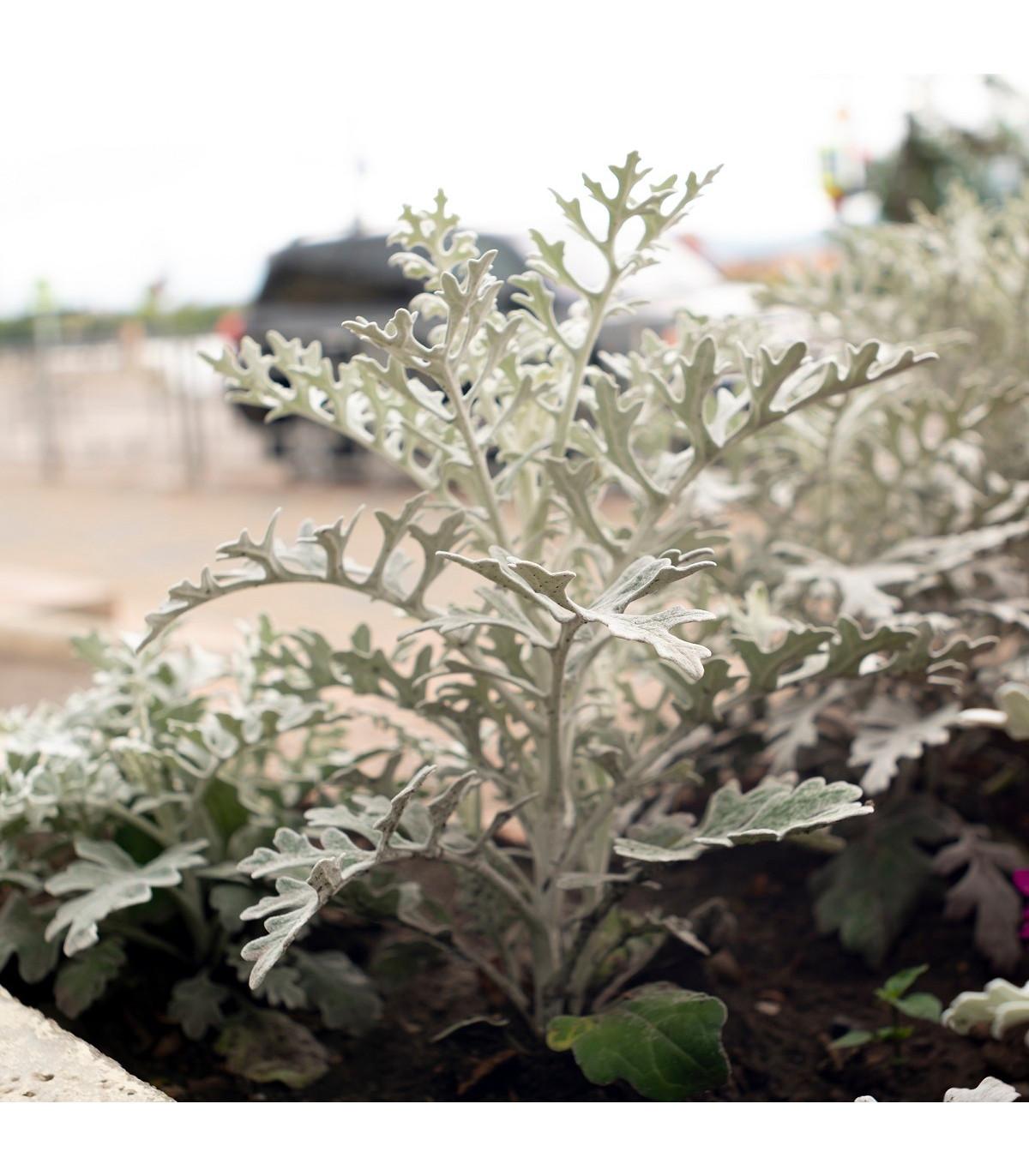 Starček přímořský - Cineraria maritima - semena - 150 ks