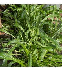 Japonský salát Mibuna - Brassica rapa - semena - 40 ks