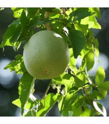 Oslizák líbezný - Aegle marmelos - semena - 3 ks