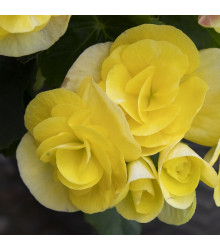 Begonie žlutá plnokvětá - Begonia Pendula maxima - cibuloviny - 2 ks