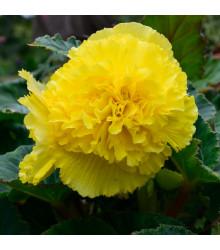 Begonie třepatá žlutá - Begonia fimbriata - cibule begonie - 2 ks