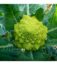 Brokolice Romanesco - Brassica oleracea L. - semena - 250 ks