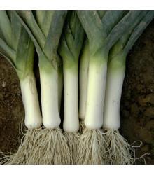 Pór zimní Winner - Allium porrum - semena - 300 ks