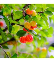 Barbadoská třešeň - Malpighia glabra - semena třešně - 4ks