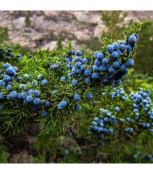 Jalovec ztepilý - Juniperus excelsa - semena - 5 ks
