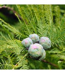 Tisovec dvouřadý - Taxodium distichum - semena - 5 ks