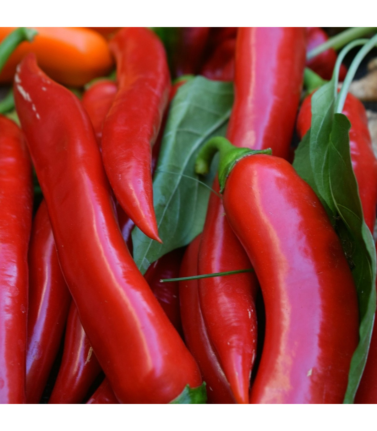 Chilli Kajenský pepř – Capsicum annuum – semena chilli – 8 ks