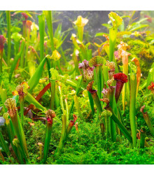 Špirlice směs - Sarracenia mix - semena - 12 ks