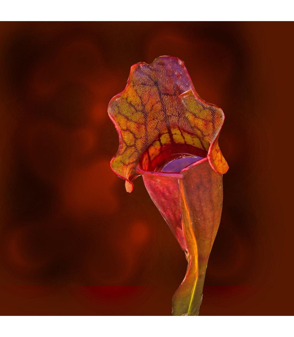 Špirlice nachová - Sarracenia purpurea - semena špirlice - 8 ks