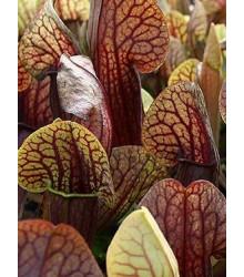 Špirlice křídlatá obrovská - Sarracenia alata giant - semena špirlice - 12 ks