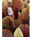 Špirlice křídlata obrovská - Sarracenia alata giant - prodej semen masožravek - 12 ks
